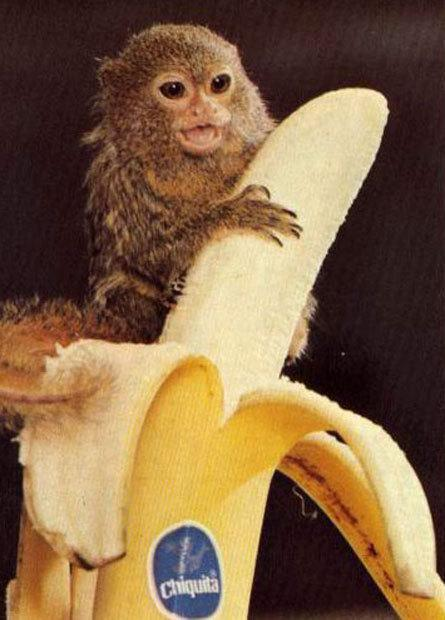 Small pygmy marmoset feeds on a peeled banana